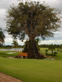 Thailand_golf_tree